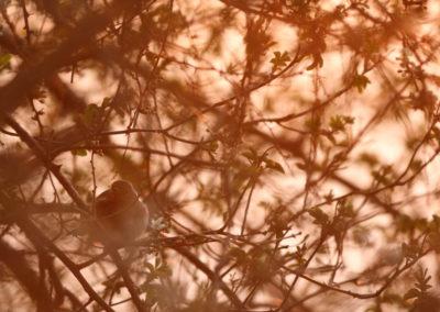 rougegorge famillier caché dans une haie en fleur au premier rayon du jour
